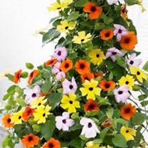 Hoa ánh dương