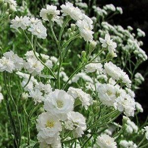 Hoa baby trắng