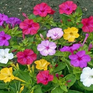 Hoa bóng phấn
