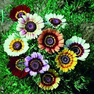 Hoa cúc chi