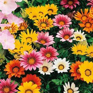 Hoa cúc huân chương