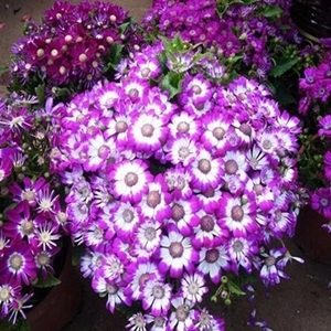 Hoa cúc lọ lem