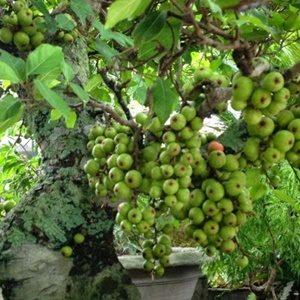 Hạt Giống Sung Bonsai