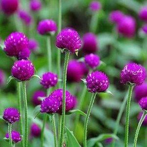 Hoa cúc bách nhật tím