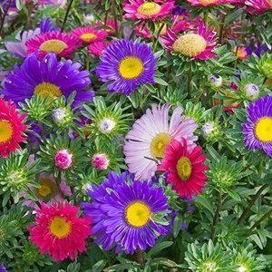 Hoa cúc đà lạt