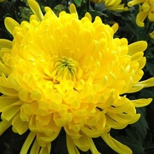 Hoa cúc đại đóa vàng