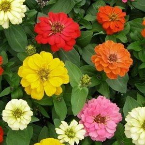 Hoa cúc lá nhám thấp
