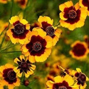 Hoa cúc mắt rắn