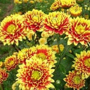 Hoa cúc sao mai