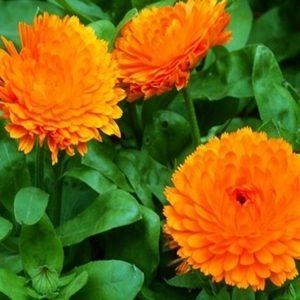 Hoa cúc su si