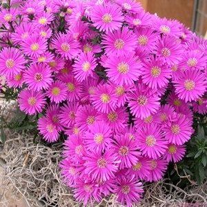 Hoa cúc thạch thảo