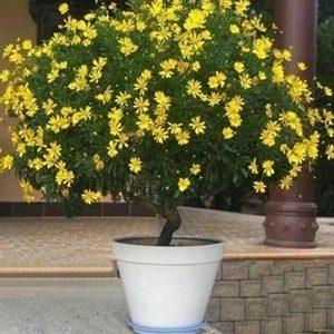 Hoa cúc thân gỗ