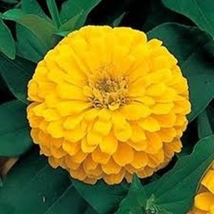 Hoa cúc zinnia vàng