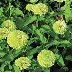 Hoa cúc zinnia xanh