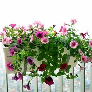Hoa dạ yến thảo rủ