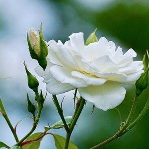 Hoa hồng bạch