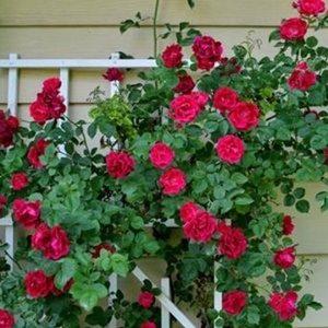 Hoa hồng leo đỏ