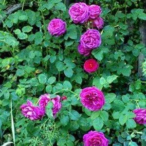 Hoa hồng leo tím