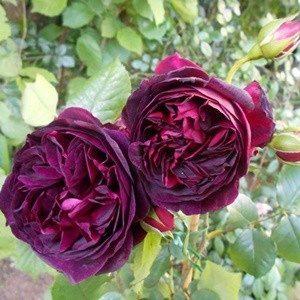 Hoa hồng nhung tím