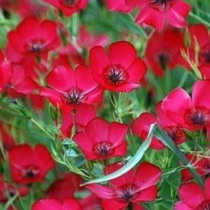 Hoa lanh đỏ