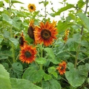 Hoa hướng dương cam