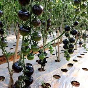 Cà chua bi đen