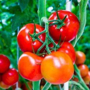 Cà chua đỏ arka