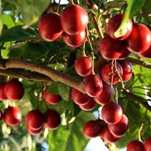 Cà chua thân gỗ