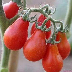 Cà chua trái cây đỏ