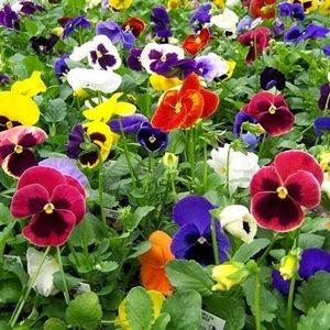 Hoa pansy