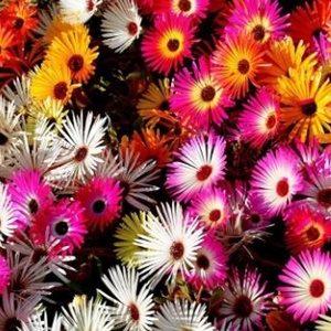 Hoa mười giờ châu phi