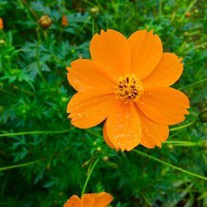 Hoa sao nhái cam