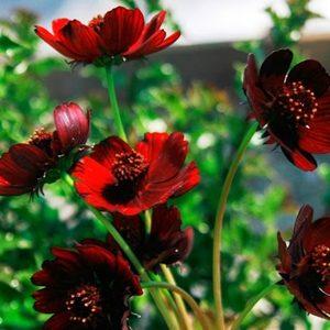 Hoa sao nhái đỏ