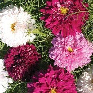 Hoa sao nhái kép