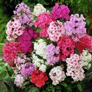 Hoa thanh trúc