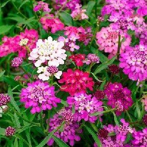 Hoa tổ ong
