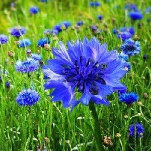 Hoa trúc mai xanh