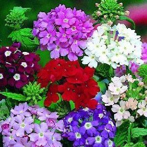 Hoa vân anh