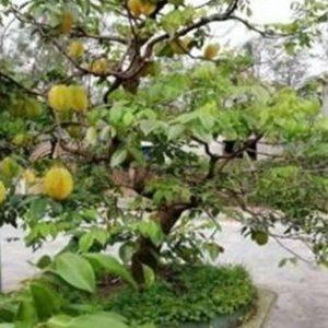 Khế bonsai