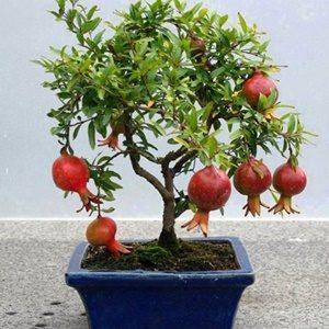 Lựu bonsai