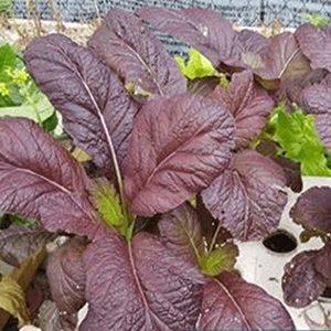 Rau cải canh đỏ