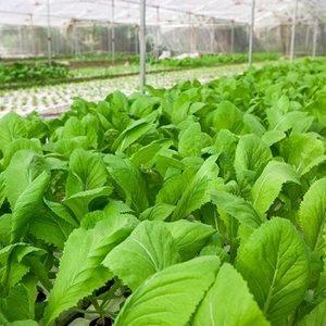 Rau cải canh xanh