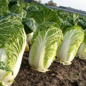 Rau cải thảo xanh