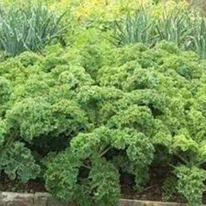 Rau cải xoăn xanh