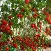 Cà chua bi nhật
